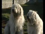 Продаются щенки южнорусской овчарки!!!
